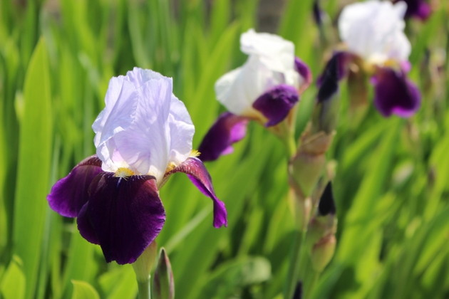 German Irises